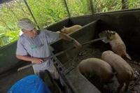 Lapa_rios_pigs