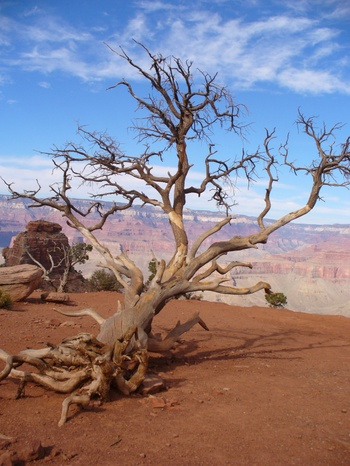 Dead_tree_in_grand_canyon_3