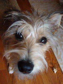 Photo: Dublin the terrier mutt
