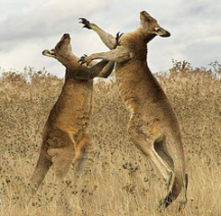 Photo: kangaroo