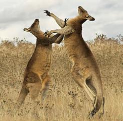 Photo: kangaroo