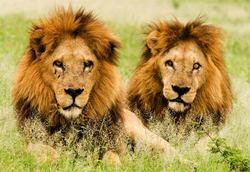 Lionsmalesbotswanaga