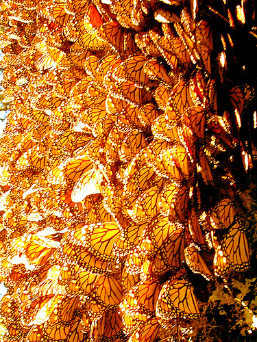 Monarch butterfly migration tree - photo#11