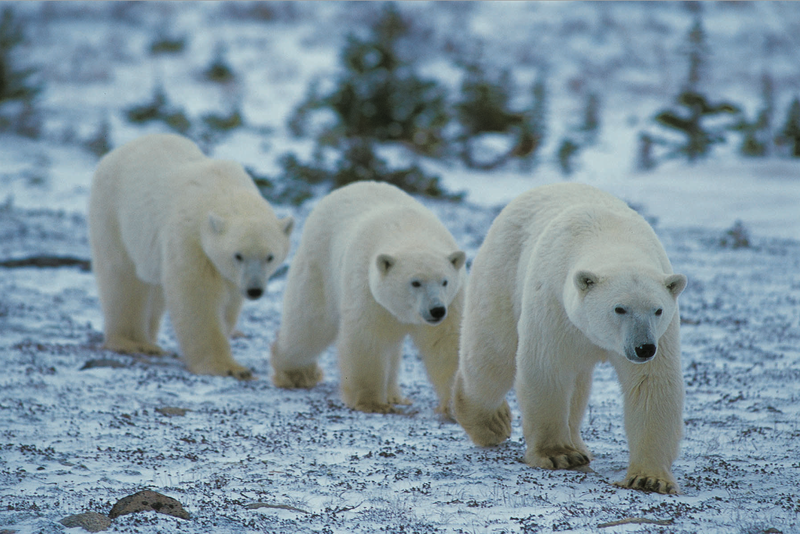 Photo: Polar Bears
