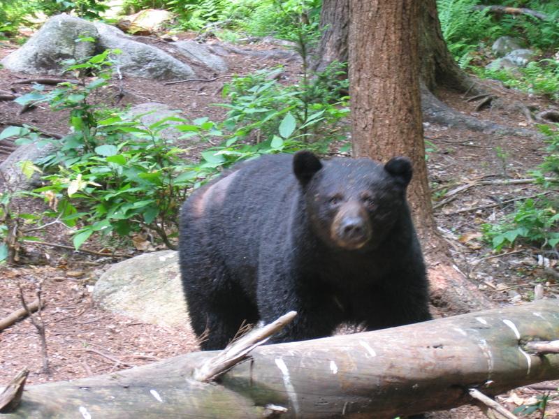 Photo: Black bear
