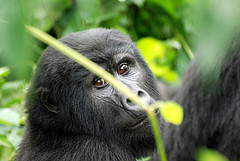 Photo: Gorilla