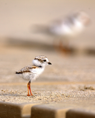 Plover_chick