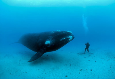 Photo: Right whale by Brian Skerry